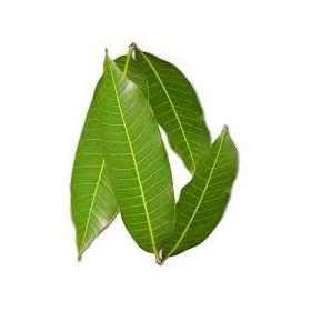 Fresh Mango (Maavilai/ Maa Ilai) Leaves